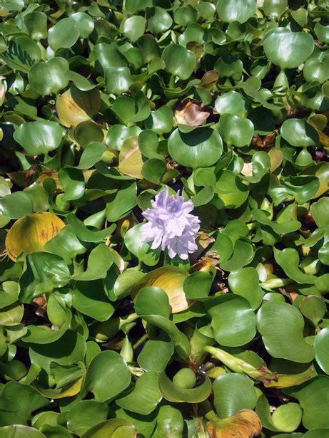 lenteja de agua de flores stock de foto gratis public