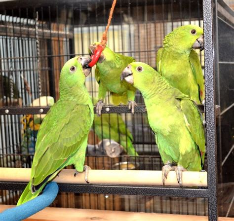 yellow naped amazon 128882 for sale in lincolnton nc