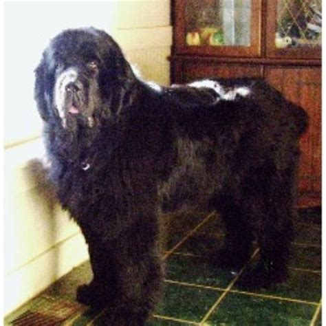 newfoundland puppies illinois fox river kennel newfoundland breeder in olney illinois 62450 freedoglistings