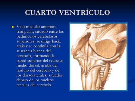 cuarto ventriculo iv ventr 205 culo meninges l 205 quido cefalorraqu 205 deo ppt video