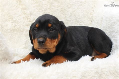 rottweiler puppies for sale in pa 500 rottweiler puppy for sale near lancaster pennsylvania d7ab6226 e721