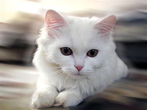 the white cat and как окрас кошки влияет на ее характер 187 radionetplus ru развлекательный портал