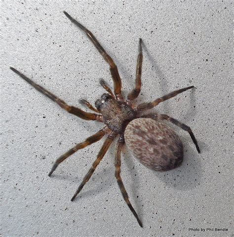 Brown House Spider Badumna Longinqua Friends Of Te Henui Kete New Plymouth