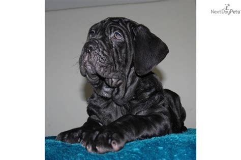 neapolitan mastiff puppies price neapolitan mastiff puppy for sale near ontario 2098757e 50a1