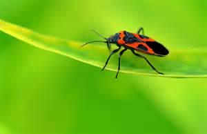 Garden Pests Ontario - milkweed bug information are milkweed bugs harmful