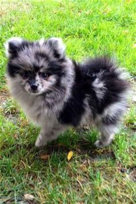blue pomeranian pictures pomeranian breed 187 information pictures more