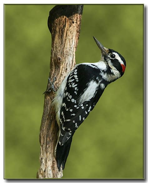 hairy woodpecker birds of wisconsin pinterest
