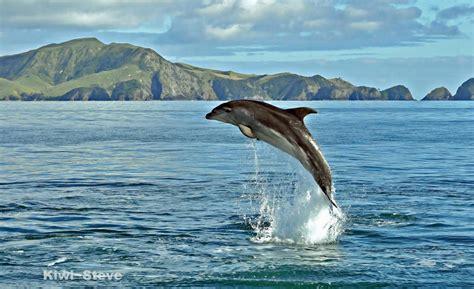 Sprei Sea Dolphine dolphin in sea wallpaper animals wallpaper better