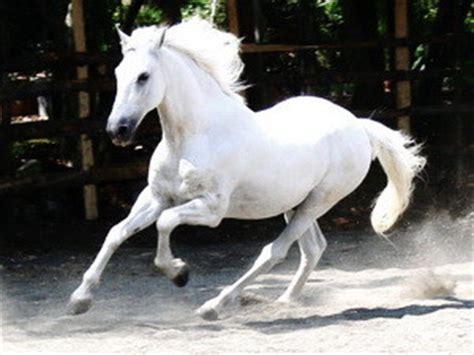 legendary white stallions horse hungry