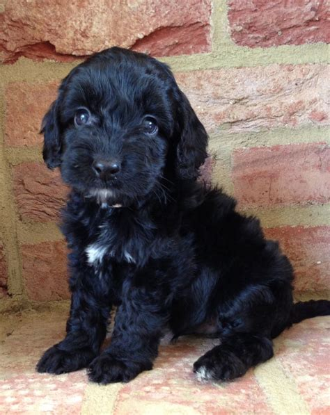 cockapoo dogs cockapoo puppies rescue pictures information temperament characteristics