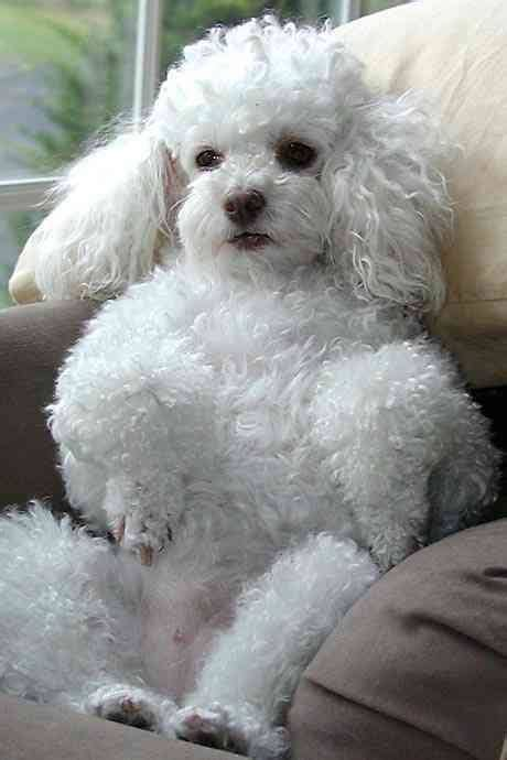 french puddle hair cut 847 best images about poodle love on pinterest puppys