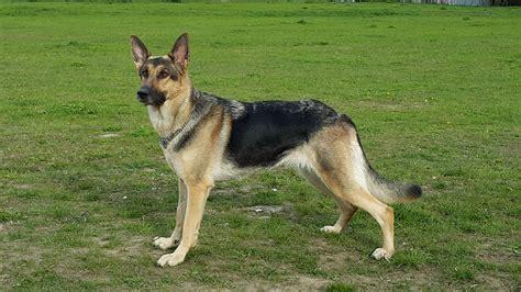german shepherd wikiwand