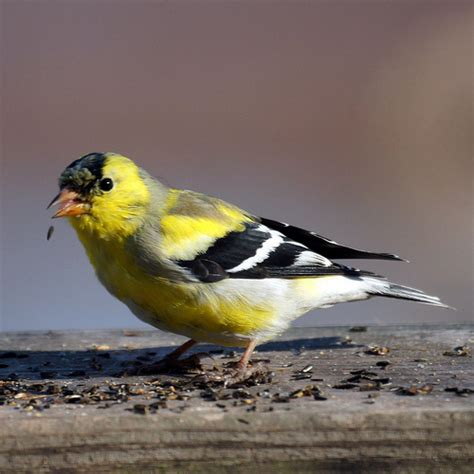 state birds american goldfinch state bird of new jersey new jersey