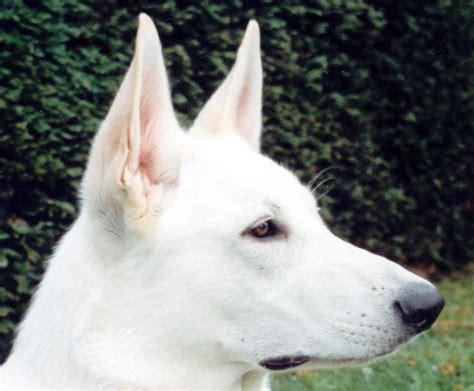 white shepherd puppies white shepherd photo and wallpaper beautiful white shepherd pictures