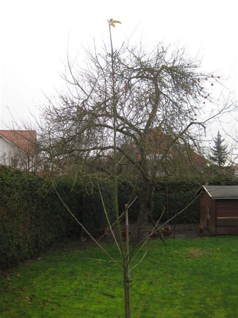 apfelbaum schneiden wann apfelbaum schneiden frisch gepflanzt junger baum mein