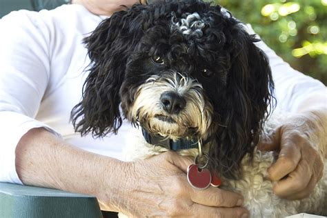 can dogs get dementia dementia in dogs signs causes and treatments