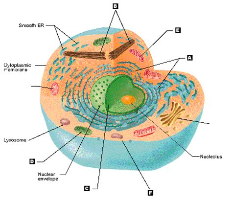 animal cell diagram peroxisome image collections how to