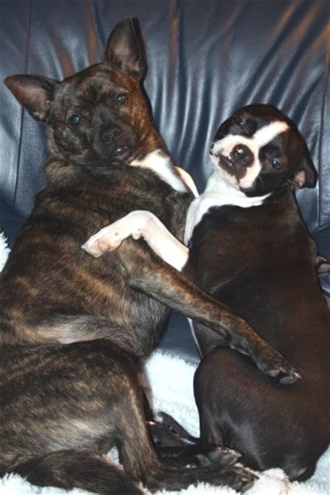boston terrier pomeranian pomston boston terrier and pomeranian mix pictures and information