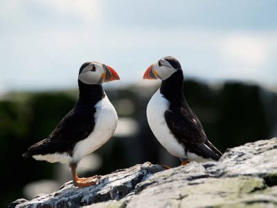atlantic puffin facts for kids puffins information