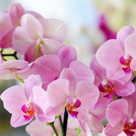 orchideen samen kaufen orchideen phalaenopsis kaufen bestellen