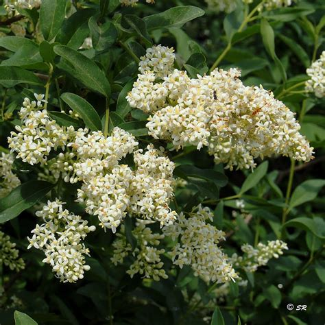 fragrant white flowering shrubs panoramio photo of the