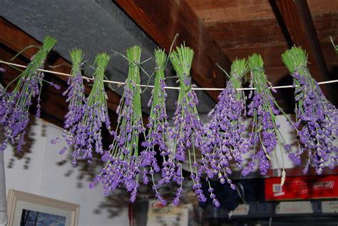 fiori di lavanda essiccati fiori di lavanda secchi fiori secchi fiori lavanda secchi