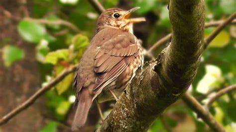 song thrush bird singing  youtube