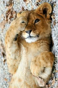 Cute baby lions and tigers cute baby lions