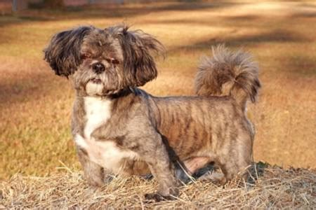 shih tzu grooming guide shih tzu breed shih tzu information information on shih tzus
