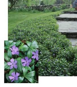 vinca minor ground cover periwinkle myrtle evergreen