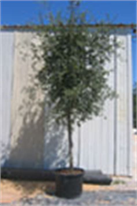 30 gallon maple tree trees