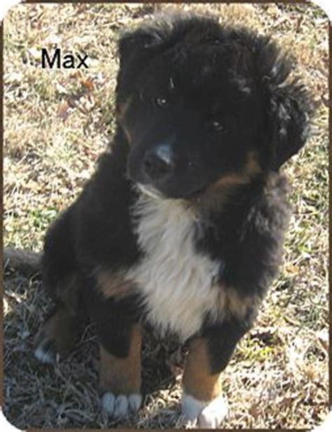 bernese mountain breeders ma max adopted puppy marlborough ma bernese mountain newfoundland mix