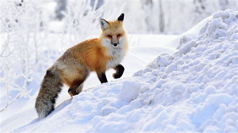wallpaper fox winter snow hd animals 3479