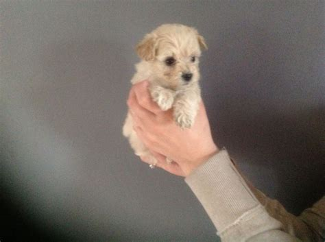 westiepoo puppies f1 westiepoo puppies scunthorpe lincolnshire pets4homes