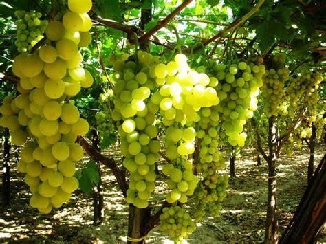 uva da tavola italia canicatt 236 settore agricolo il consorzio uva italia igp e