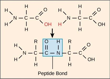 diagram of peptide bond amino acids and proteins biochemix