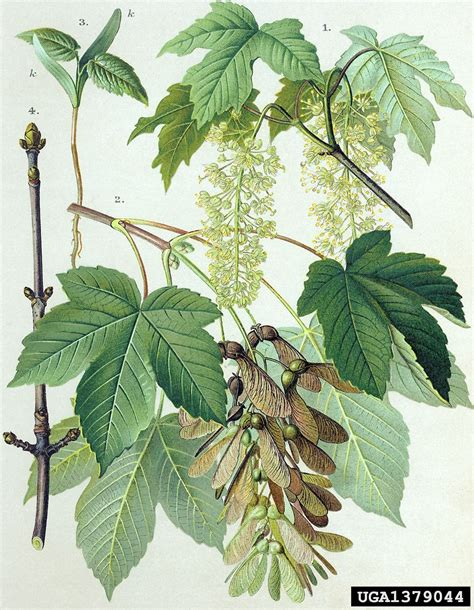 Plat Home by Acer Pseudoplatanus Sycamore Maple Go Botany