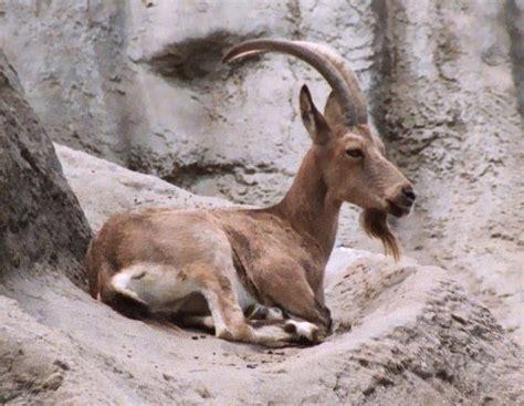 siberian ibex capra sibirica