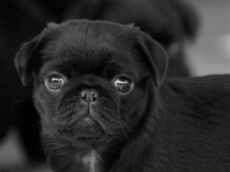 how much are black pug puppies 25 best ideas about black pug on black pug puppies baby black pug and