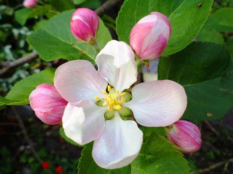 Tree Flower Of by Apple Tree Flower Pixdaus