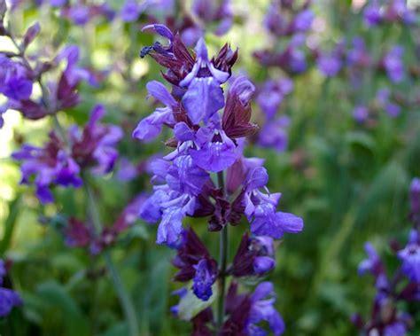 gardensonline salvia officinalis