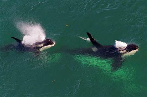 orca j32 rhapsody images