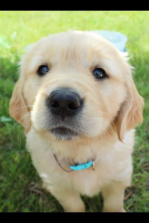 golden retriever name golden retriever names images