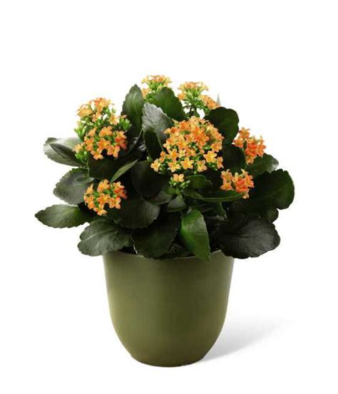 flowering house plants best flowering houseplants for mother s day grower