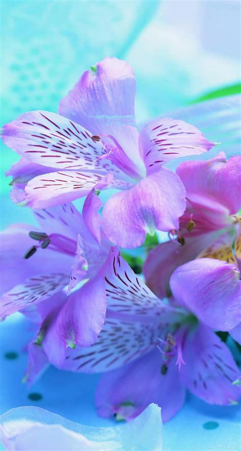 delicate spring flower   blue velvet hd wallpaper