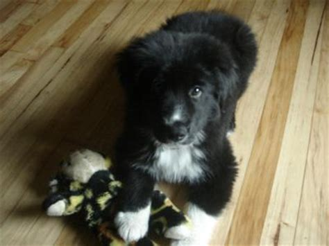 border collie husky mix puppies for sale border collie lab mix puppies for sale