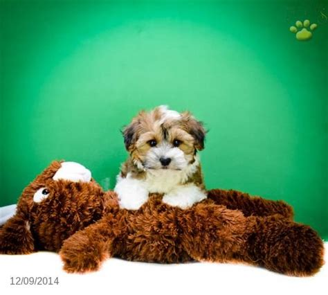 havanese breeders ohio 92 best images about adorable puppies for sale on