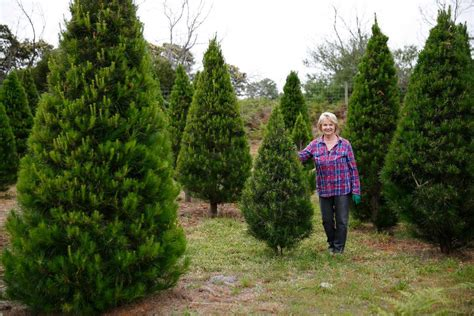 xmas tree farms covingtom find your pine at sunnybrook tree farm the weekly times