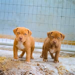 Pit Prices Pics For Gt Rottweiler Mixed With Nose Pitbull