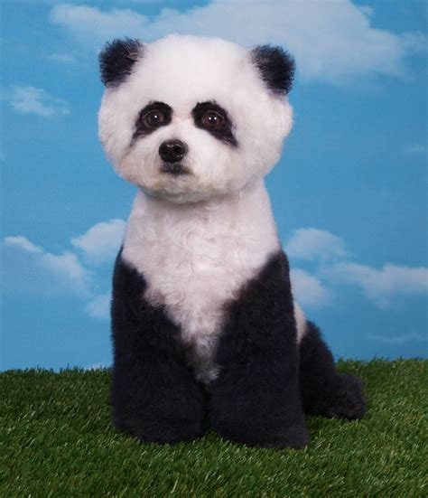 puppies that look like pandas puppies that look like pandas quotes